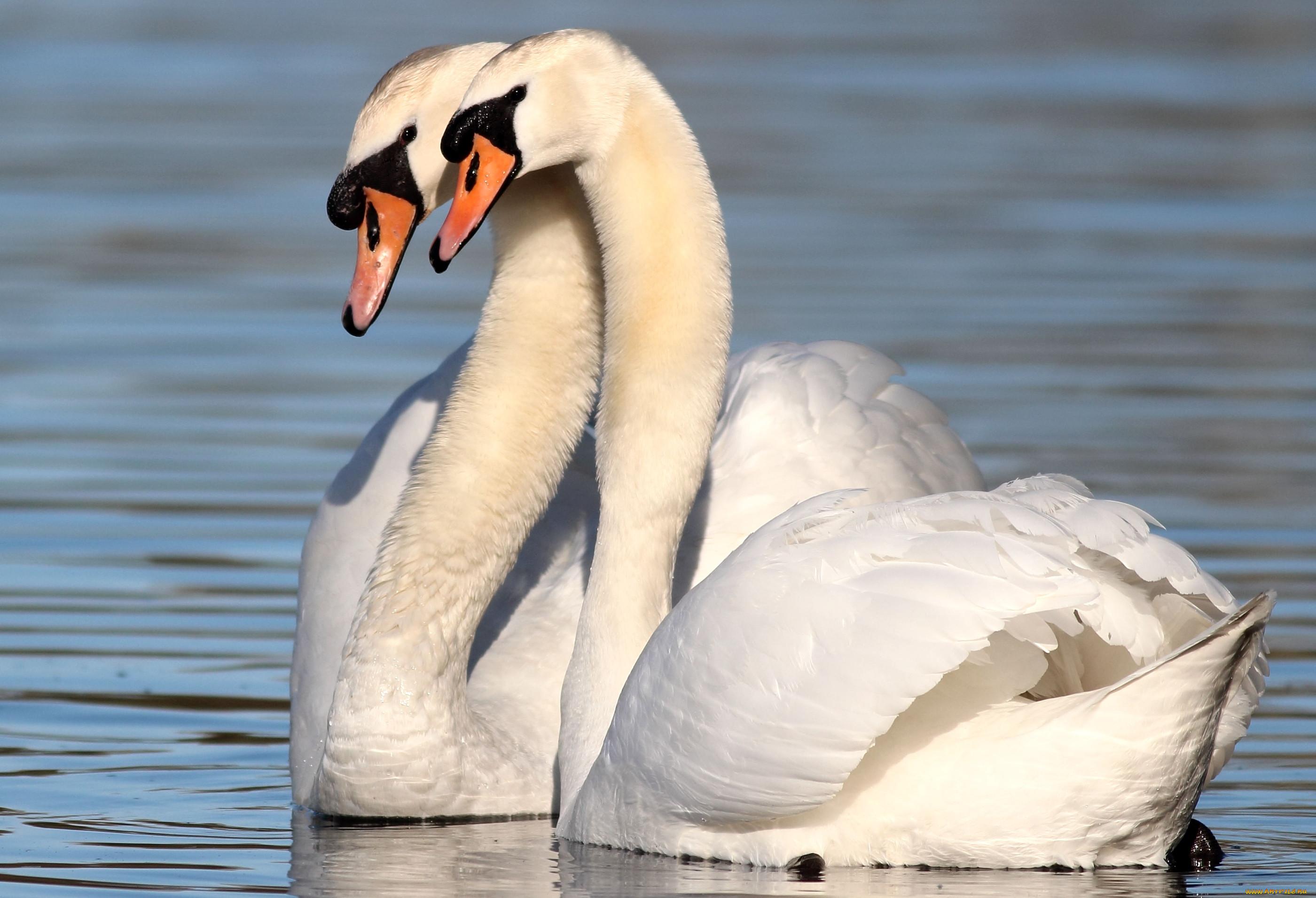 самые красивые фото пары лебеди белых